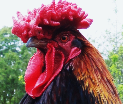Big_red_rooster.jpg