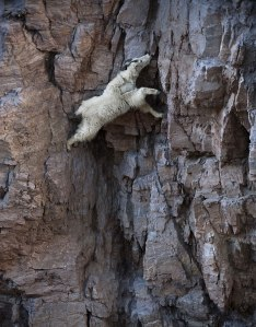 crazy-goats-on-cliffs-7